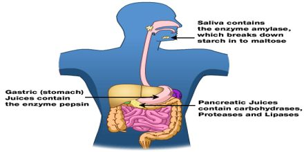 Enzymes and Digestion