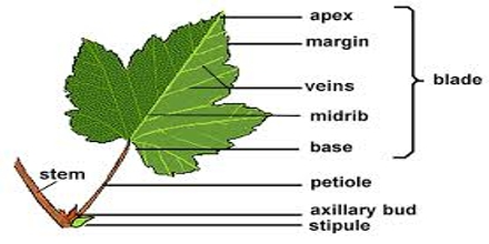 External Structure of Plants