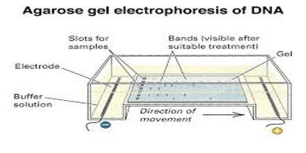 Gel electrophoresis research paper