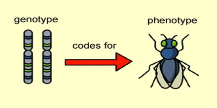 Genotype and Phenotype
