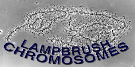 Lampbrush Chromosome