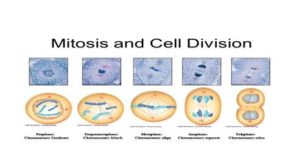 Mitosis Cell Division