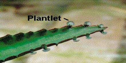 Presentation on Plantlets