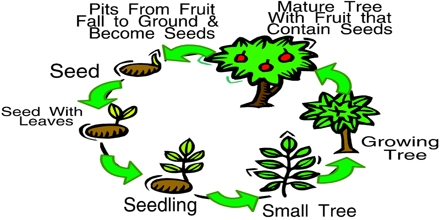 Plants Life Cycle