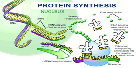protein synthesis essay question