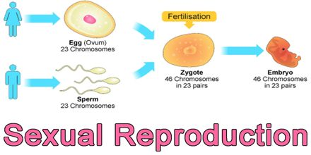 sexual reperduction