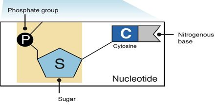 Structure of Nucleotide