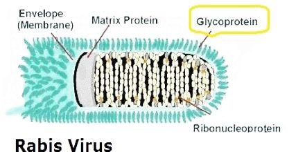 Virus Rabies