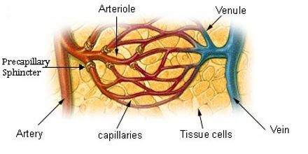 Lecture on Blood Vessels