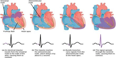 Co-ordination of Cardiac Cycle