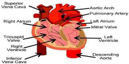 Lecture on Circulatory System