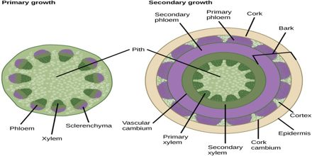 Secondary Growth of Plants