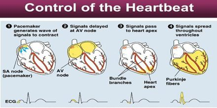 Control of the Heart Beat