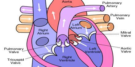 Heart Circulatory System