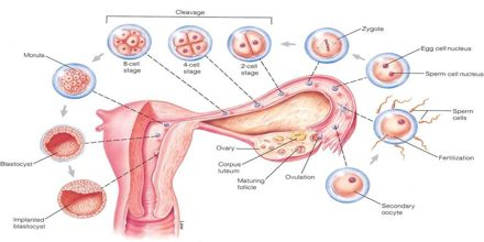 Process of Cleavage