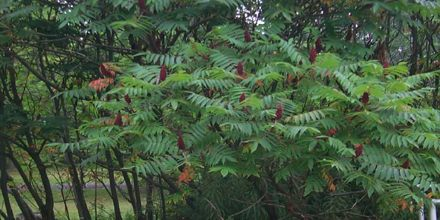 Lecture on Sumac Tree