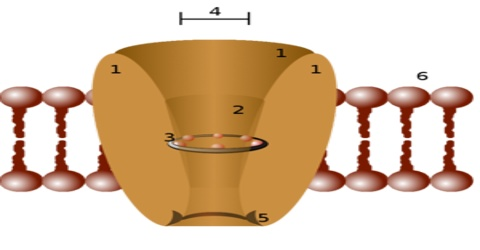 ion channels essay Figure 1 structure and topology of hcn channels hcn1–4 subunits form homo-  or heterotetramers in the cell membrane (top) and when.
