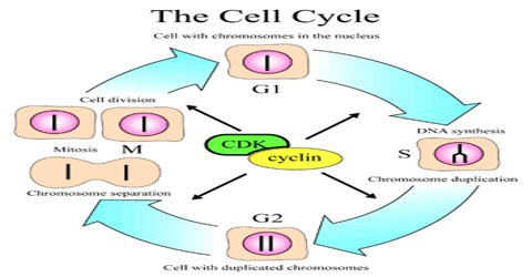 Key Regulators of the Cell Cycle