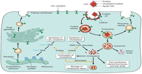 Regulation of Cholesterol Metabolism