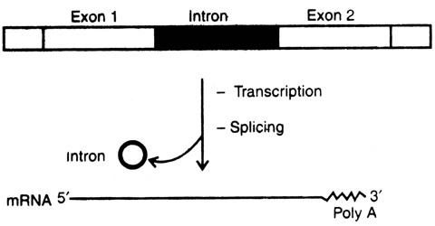 Split Genes or Interrupted Genes