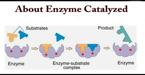About Enzyme Catalyzed