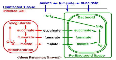 About Respiratory Enzyme