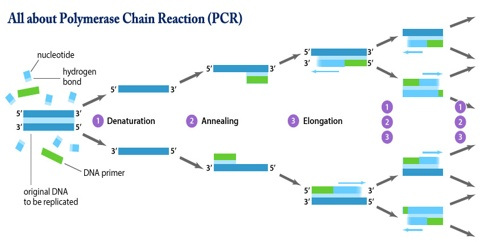 All about Polymerase Chain Reaction (PCR)