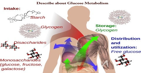 Describe about Glucose Metabolism