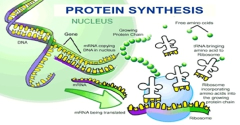 Describe about Protein Synthesis