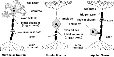 Structure and functions of neuron assignment point a typical neuron is divided into three parts the soma or cell body dendrites and axon the soma is usually compact the axon and dendrites are filaments ccuart