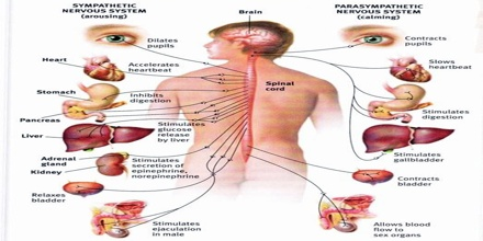 in humans and other vertebrates, the nervous system can be broadly divided  into two sections: the central nervous system and the peripheral nervous  system