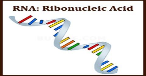RNA: Ribonucleic Acid