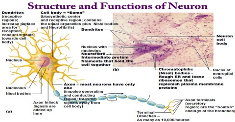 structure of neuron