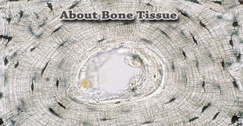 About Bone Tissue