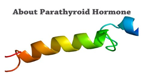 About Parathyroid Hormone