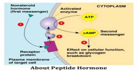 About Peptide Hormone Assignment Point