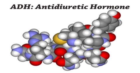 ADH: Antidiuretic Hormone
