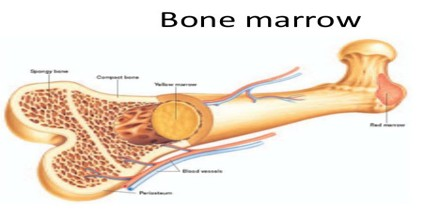 Real human bones marrow