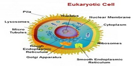 Cell structure function and organisation assignment point eukaryotic cell structure they are the cells with the presence of true nucleus organisms with this cell type are known by the term eukaryotic organisms ccuart Image collections