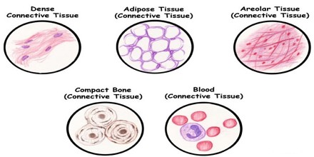 Bones Are Made Up Of Diffe Types Connective Tissue Including Bone And Marrow Is Either Spongy Or Compact Depending On The