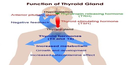 Structure And Function Of Thyroid Gland Assignment Point