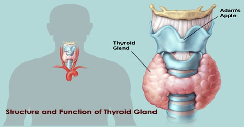 Structure and Function of Thyroid Gland
