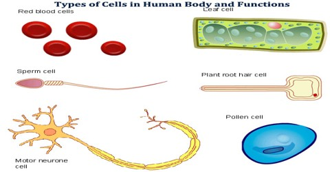 Types of Cells in Human Body and Functions