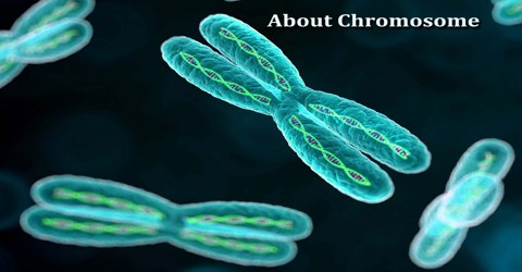 About Chromosome