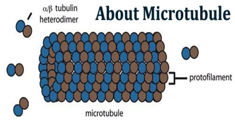 About Microtubule