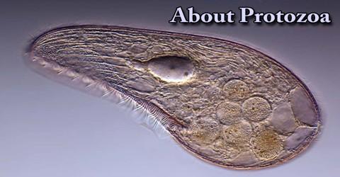 About Protozoa