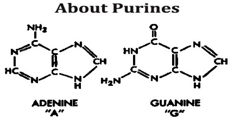 About Purines