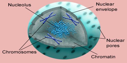 Nucleus history nucleus deltasport nucleus structure and function of the cell nucleus h ccuart Choice Image