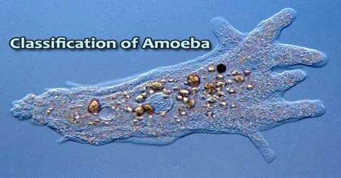 Classification of Amoeba