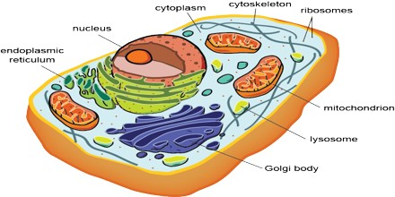 Difference between prokaryotic cells and eukaryotic cells (with.
